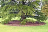 Одиночное дерево на газоне
