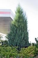 Коническое дерево