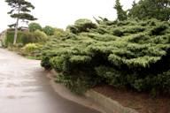 Стелющаяся форма дерева