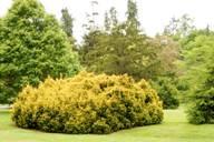 Подушковидная форма дерева