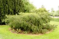 Раскидистая форма дерева