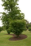 Крупное дерево (солитер) в парке